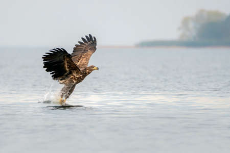 white tailed eagle (Haliaeetus albicilla) taking a fish out of the water or the oder delta in Poland, europe. Writing space.