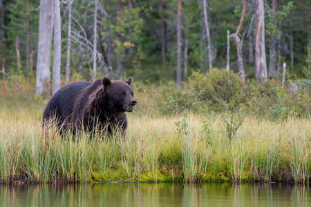 Beautiful and majestic European Brown Bear (Ursus arctos arctos) hunting in the forest of Kuhmo, Finland. Wild brown bear.