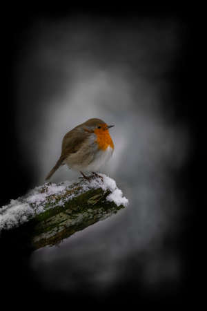 European Robin (Erithacus rubecula) on a snowy branch in the forest of Hoge Veluwe National Park in the Netherlands. Dark winter forest in the background.