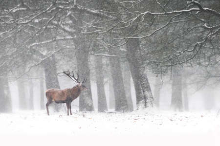 Red Deer Stags (Cervus elaphus) in the Dutch Winter Snow. Hoge Veluwe National Park in the Netherlands. Forest in the background.