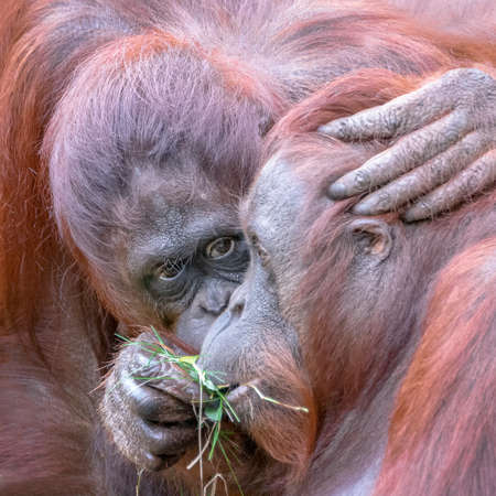 Two orangutans (pongo pygmaeus) love each other. Apelheul in the Netherlands.