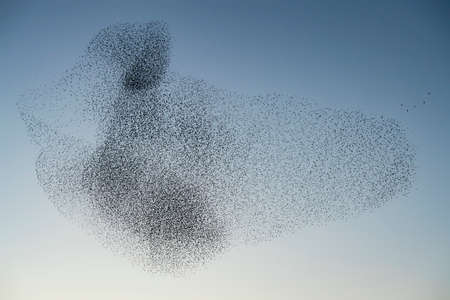 Beautiful large flock of starlings (Sturnus vulgaris), Geldermalsen in the Netherlands. During January and February, hundreds of thousands of starlings gathered in huge clouds. Starling murmurations. Foto de archivo