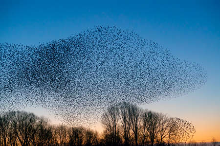 Beautiful large flock of starlings (Sturnus vulgaris), Geldermalsen in the Netherlands. During January and February, hundreds of thousands of starlings gathered in huge clouds. Starling murmurations.