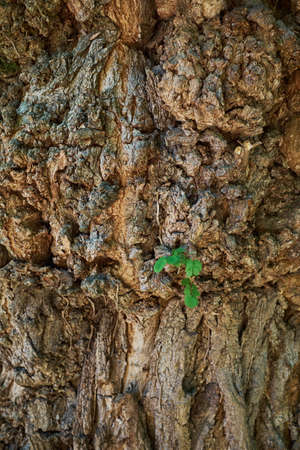 A young tree growing on middle the tree trunk and bark background .new leaf on tree . Sapling Sprout on middle the tree trunk. 写真素材