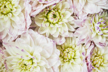 close up multi colored pink lilac white dahlia flower with 免版税图像