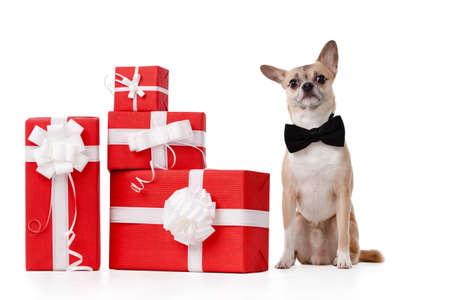 lazo regalo: Pale perrito amarillo se sienta cerca de los presentes, aislado en blanco Foto de archivo