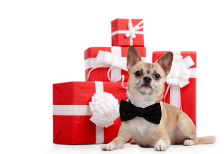 Pale yellow dog with bow tie lies near the presents, isolated on white photo