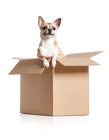 packaging move: Chihuahua dog looks out of cardboard box, isolated on white Stock Photo