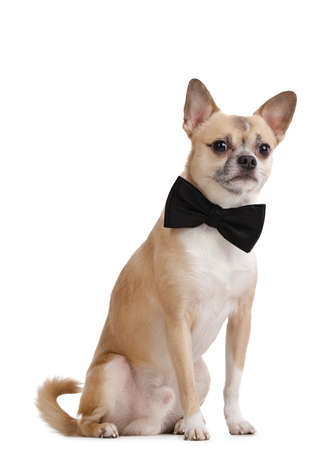 Pale yellow doggy with bow tie, isolated on white Stock Photo - 17461123