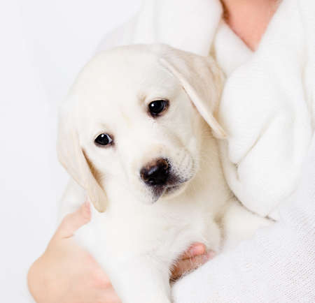 White puppy sitting on the hands of woman photo