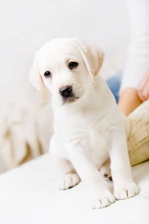 White Labrador puppy sitting on the sofa near the hands of woman photo