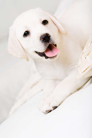 Close up of cute puppy lying on the white leather sofa photo