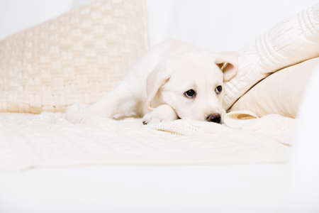 Tired white puppy lying on the white leather sofa with pillows photo