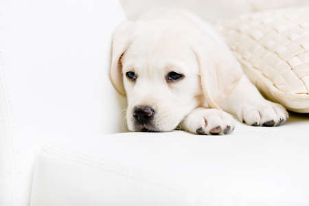 joyless: Close up of sad labrador puppy lying on the white leather sofa with the pillow Stock Photo