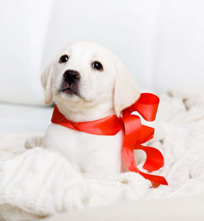 labrador christmas: White Labrador puppy with red ribbon on his neck is lying on the white leather sofa Stock Photo