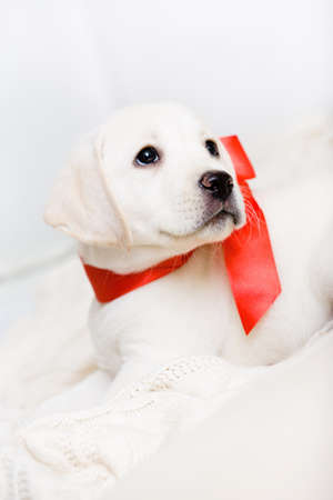 White puppy with red ribbon on his neck is lying on the white leather sofa photo