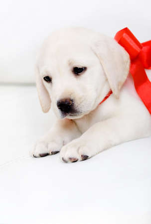 labrador christmas: Puppy of labrador with red ribbon on his neck is lying on the white leather sofa