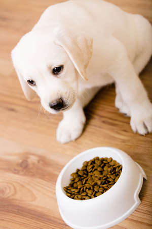 animalitos tiernos: Cachorro de Labrador que se sienta cerca de su recipiente de plástico con comida Foto de archivo