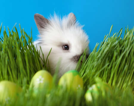 chucky: Downy white rabbit is in the thick green grass near the Easter eggs, isolated on blue