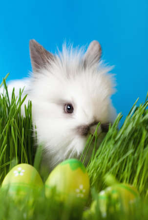 chucky: Downy bunny is in the thick green grass near the Easter eggs, isolated on blue