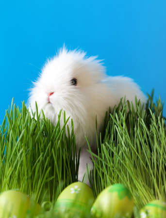 chucky: Downy easter bunny is in the thick green grass near the Easter eggs, isolated on blue