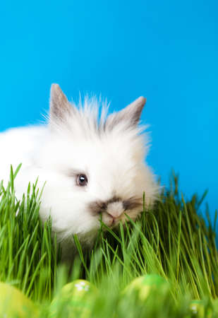 chucky: Downy rabbit is in the thick green grass near the Easter eggs, isolated on blue