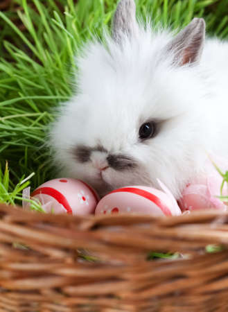 chucky: Downy white rabbit is ithe basket with green grass and Easter eggs