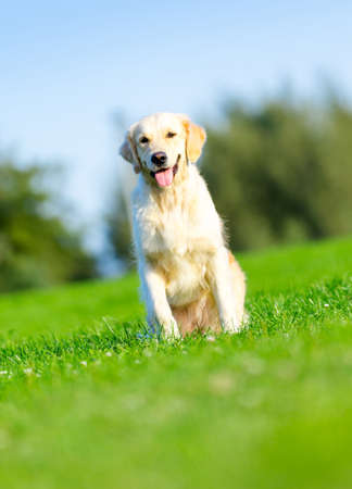 Running purebred golden retriever in the summer park photo