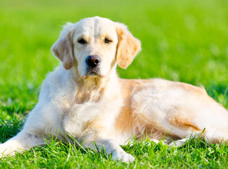 Lying on the green grass purebred golden retriever photo