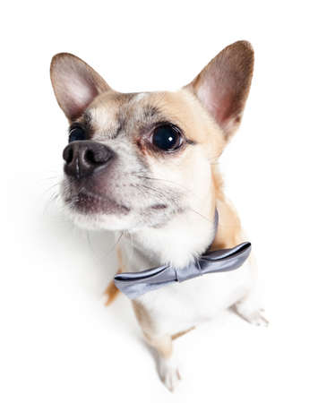 Wide angle shot of sitting chihuahua doggy with grey bow tie isolated on white