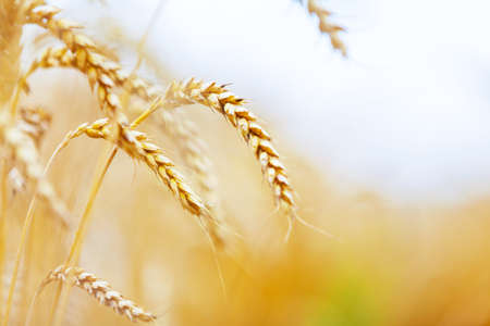Close up of stems of gold and ripe rye. Concept of great harvest and productive seed industry