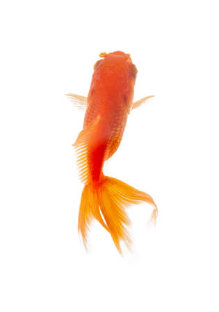 Close up of goldenfish swimming in fishbowl, isolated on white. Concept of wild nature and environment photo