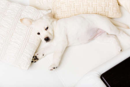 Top view of white Labrador puppy lying on the side on the white leather sofa photo