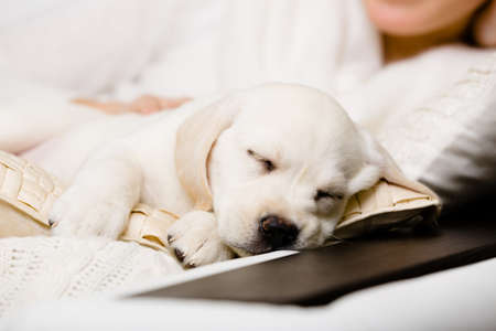 Close up of sleeping puppy of labrador on the hands of female owner sitting on the sofa