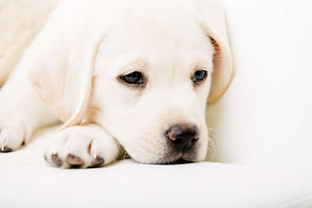 Close up of sad white Labrador puppy lying on the white leather sofa photo