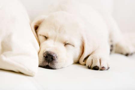 Zblízka spící štěně labradorského na bílé kožené pohovce