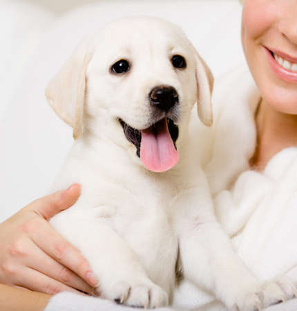 Close up of yawning labrador puppy on the hands of owner Stock Photo