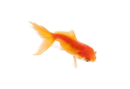 Close up of orange fish swimming in fishbowl, isolated on white. Concept of wild nature and environment photo