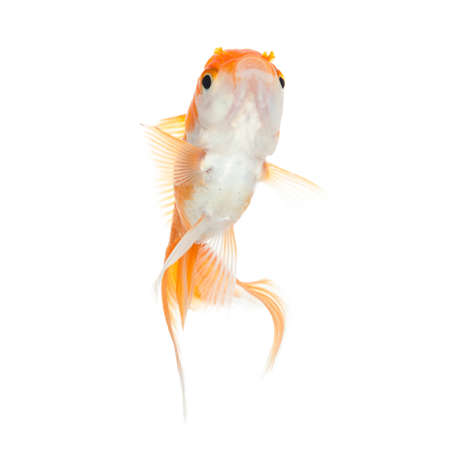 Close up of swimming orange fish, isolated on white. Concept of wishes fulfilment and natural beauty photo