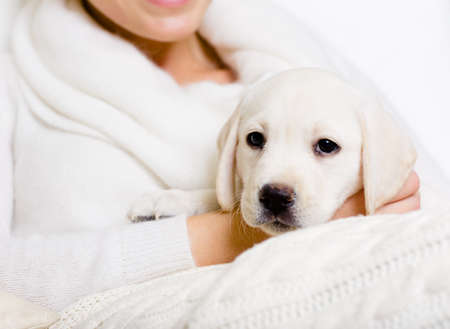 Closeup of puppy of labrador on the hands of woman in white sweater Stock Photo - 26692534