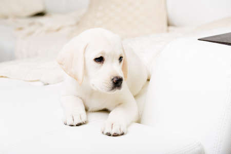 Close up of puppy of labrador lying on the white leather sofa photo