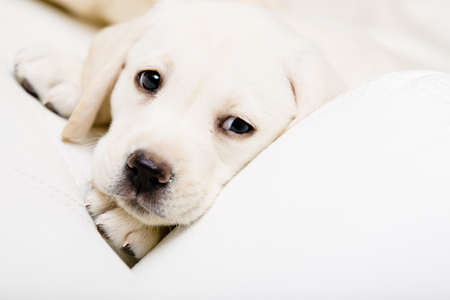 Close up of sad puppy of labrador lying on the white leather sofa photo