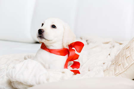 labrador christmas: Purebred puppy with red ribbon on his neck is lying on the white leather sofa