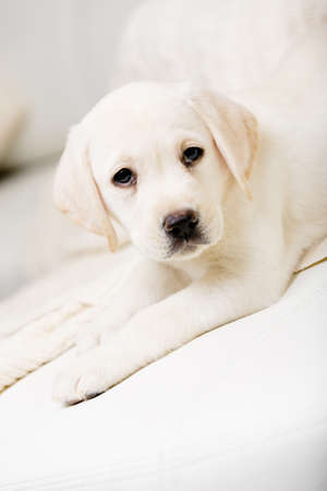 formats: Close up of white labrador puppy lying on the white leather sofa Stock Photo