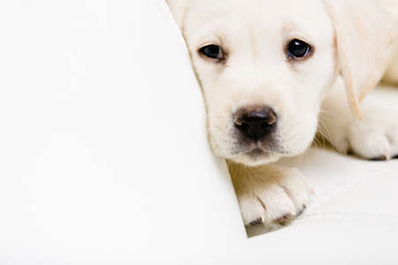 closeup puppy: Close up of sad labrador puppy lying on the white leather sofa