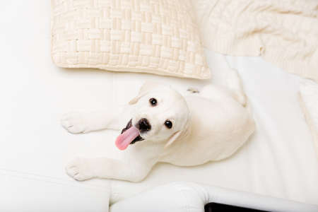 Top view of white Labrador puppy lying on the white leather sofa