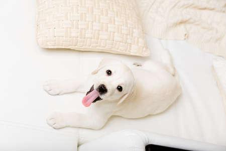 Pohled shora na bílém Labrador štěně leží na bílou koženou pohovku