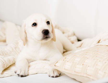 closeup puppy: Close up of Labrador puppy lying on the white leather sofa with pillow Stock Photo