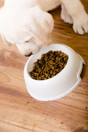 Top view of white puppy eating his food from the plastic bowl on the floor photo