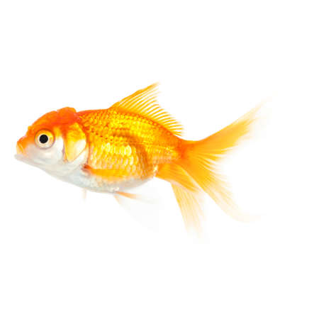 Close up of swimming orange fish, isolated on white. Concept of wish fulfilment and natural beauty photo